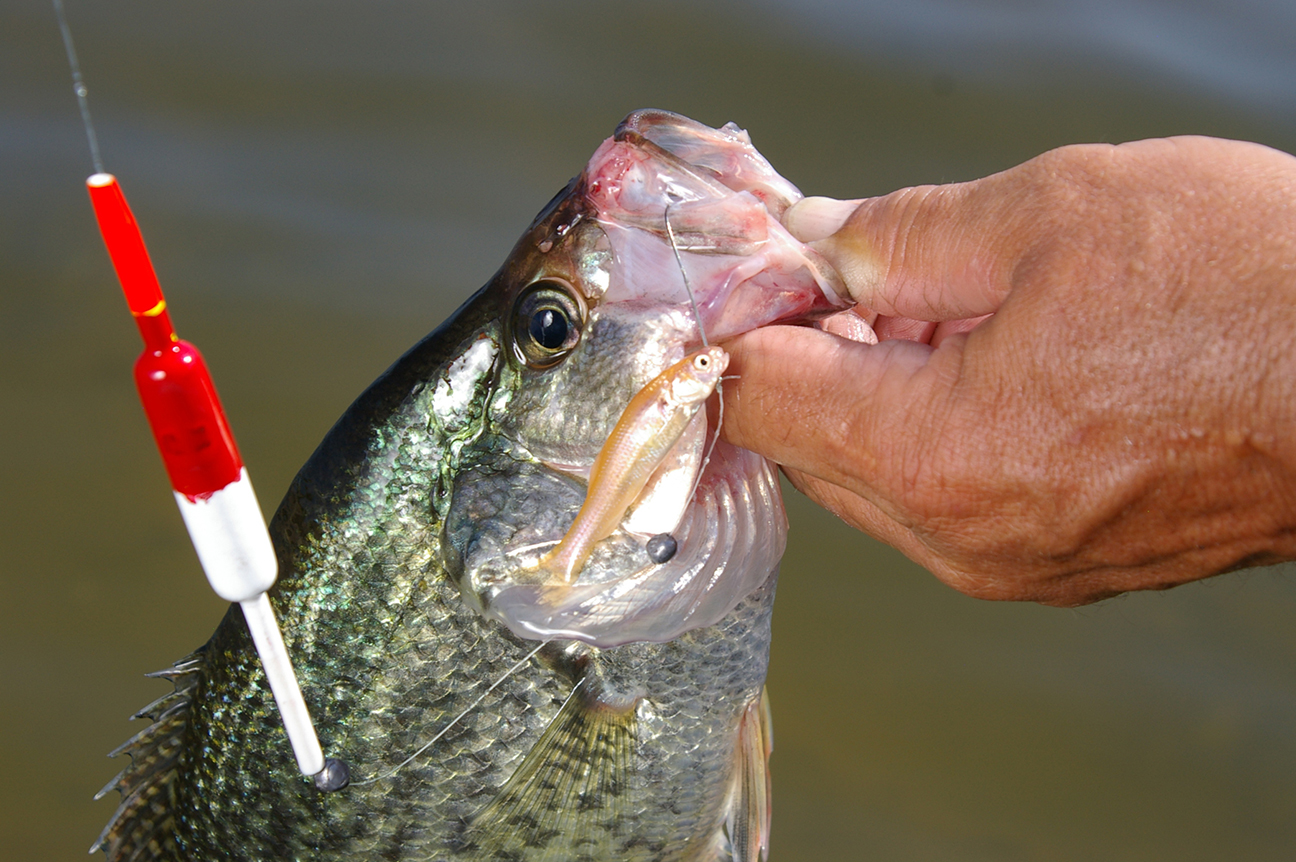 Minnows and crappie fishing are an inseparable duo for Crappie fishing with minnows