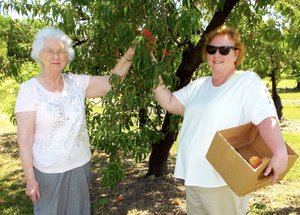 Evelyn Cope of Wichita Falls, Texas, and Debra Oliver of Siloam Springs were picking peaches from the branches of the trees at Taylor's Orchard on Friday morning, the opening day for the Orchard in Gentry. Customers can buy the fresh fruit in the stand or pick their own fruit in the orchard.