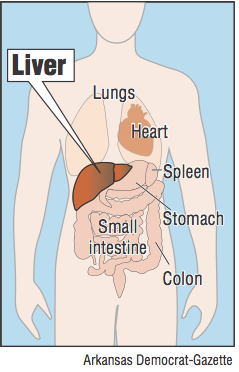 Graphic showing the location of the liver in the human body