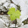 A solitary leaf pokes out of rock along a creek Sunday in the Devil's Eyebrow Natural Area in northe...