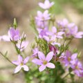 A cluster of rose-gentian flowers bloom Sunday along the trail in the Devil's Eyebrow Natural Area i...