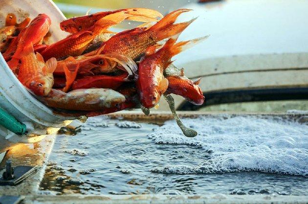 Photos arkansas home to largest producer of goldfish for Koi spawning pool