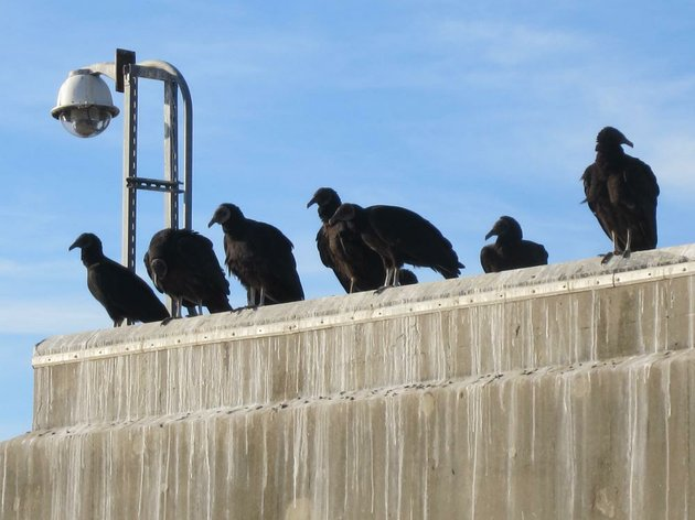 black-vultures-gather-on-bull-shoals-dam-in-this-undated-photo-the-birds-a-protected-migratory-species-have-been-responsible-for-livestock-deaths-across-the-state