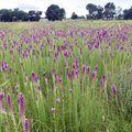 A stand of blazing star brings a dazzling blue to the Chesney Prairie Natural Area.