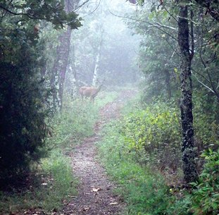 The Sentinel-Record/Corbet Deary FOGGY SCENE: Hikers who tread quietly along the trail leading from Gulpha Gorge to the top of Hot Springs Mountain are apt to see wildlife going about its everyday rituals. Here, a doe whitetail lurks in the fog.