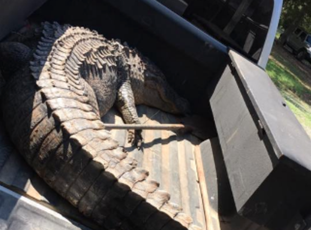 one-alligator-weighed-524-pounds-and-measured-11-feet-8-inches