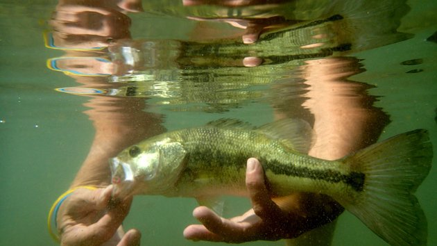 nwa-democrat-gazetteflip-putthoff-melissa-nichols-releases-a-largemouth-bass-she-caught-sept-15-on-little-sugar-creek-free-the-fighter-is-her-motto-when-she-floats-and-fishes-the-creek