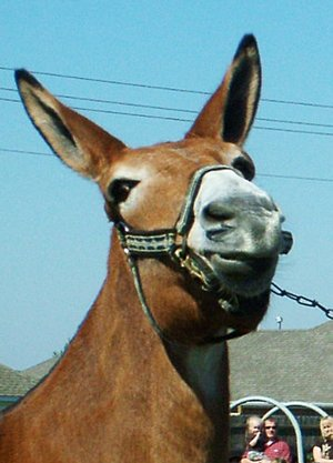 """TIMES photographs by Annette Beard """"You want me to do WHAT?!"""" this mule appears to be saying when his owner tried to get him to go over a high jump in 2010."""