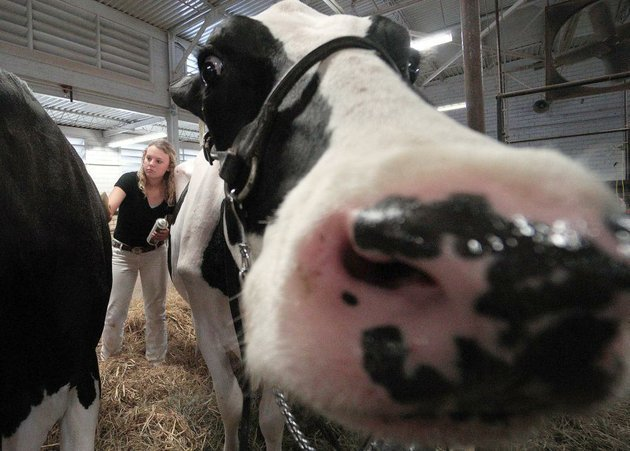cows-pigs-goats-and-lambs-join-the-rides-food-and-music-at-the-arkansas-state-fair-with-a-new-carnival-company-new-foods-and-other-changes-fairgoers-will-have-a-different-experience-this-year