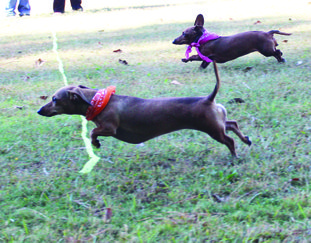 Wiener race: Roxie (left) crosses the finish line, followed by Sadie in the first heat of the Eighth Annual Dachshund Dash on Saturday. The event took place at the Hallo-WienerPawLooza, which was held at the Boys & Girls Club. Right, Trina is a rescue dog that was hit by a car and only has three legs. She was dressed as a '50s girl, wearing a pink poodle skirt. Her owner, Adrienne Noyes, describes Trina as the most friendly, patient and kindest dog.