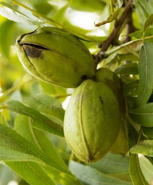 Pecans are good shade trees, but don't count on a bounty of nuts.