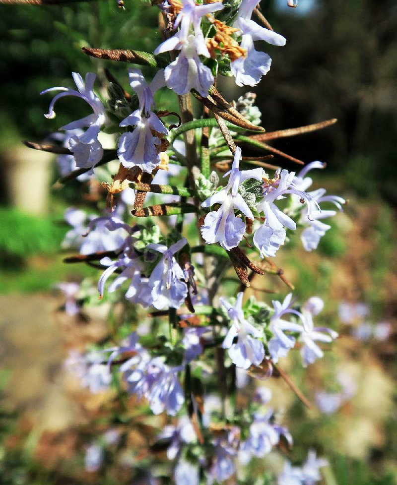 Reliable Rosemary