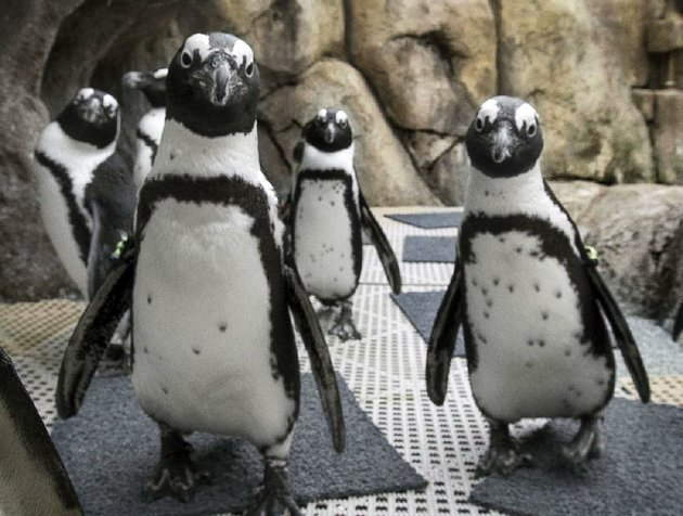 time-a-visit-to-the-little-rock-zoo-to-catch-one-of-the-regular-penguin-feedings-930-am-and-330-pm-the-zoo-is-open-9-am-4-pm-daily-and-admission-is-1295-1095-for-ages-60-and-older-and-active-military-995-for-children-3-and-up-parking-is-3-call-501-666-2406-or-visit-littlerockzoocom