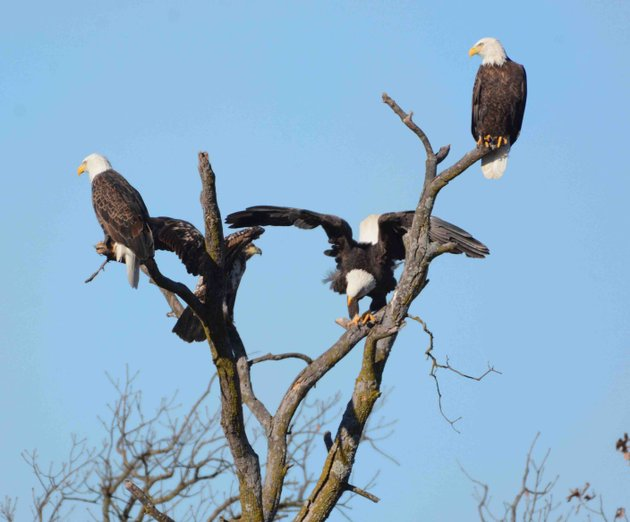 eagle-watch-cruise-hosted-by-hobbs-state-park-3-pm-sunday-and-monday-rocky-branch-marina-near-rogers-10-reservations-at-789-5000