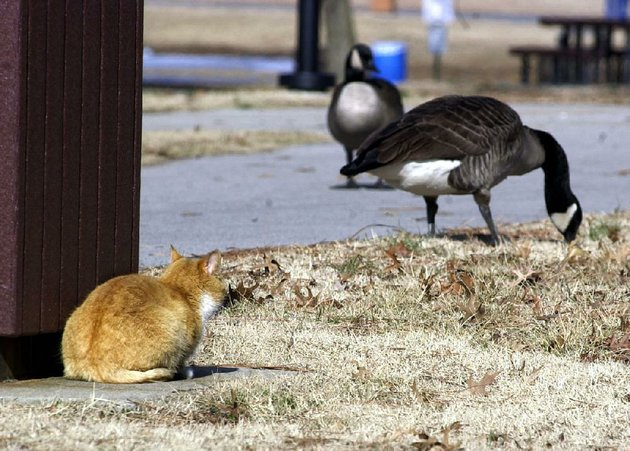 a-sentry-cat-at-rebsamen-golf-course-keeps-a-wary-eye-on-the-resident-canada-geese-should-the-fowl-approach-the-expensive-greens-the-cat-will-go-into-full-attack-modefayetteville-born-otus-the-head-cats-award-winning-column-of-humorous-fabrication-appears-every-saturday