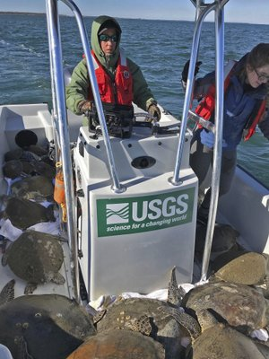 "This photo provided by U.S. Geological Survey, sea turtle scientist Margaret Lamont pilots a boat loaded with 52 cold-stunned sea turtles scooped out of St. Josephs Bay in the Florida Panhandle. Lamont said cold-stunned sea turtles began appearing in St. Joseph Bay in early January 2018 as freezing temperatures gripped the region and water temperature in the Gulf of Mexico plummeted. ""It's now over 1,000, maybe up to 1,100,"" she told the Tampa Bay Times, referencing the number of turtles that had been collected so far from the bay. Usually that number is about 30 or 40. (U.S. Geological Survey via AP)"