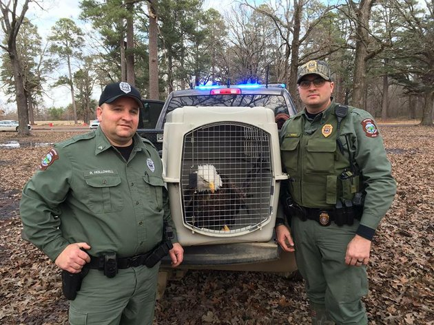 Photo injured bald eagle rescued by arkansas game and for Arkansas game and fish commission