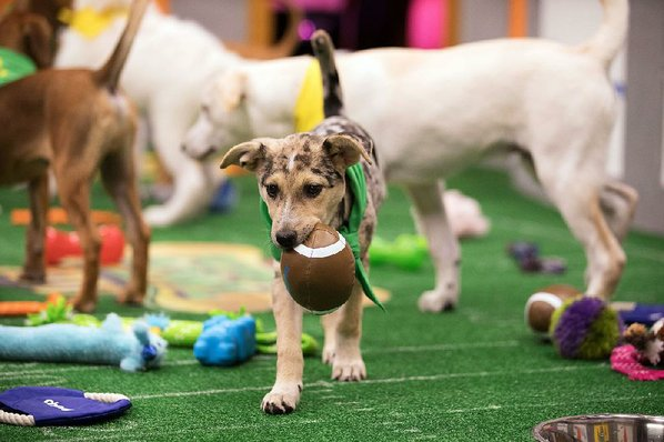 Puppy Bowl or Super Bowl?