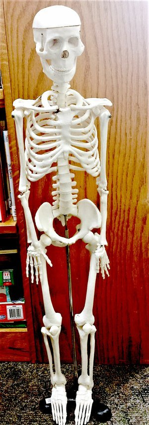 Photo submitted Meet Agnes, the new anatomical skeleton. Agnes is available for checkout at the Bella Vista Public Library.