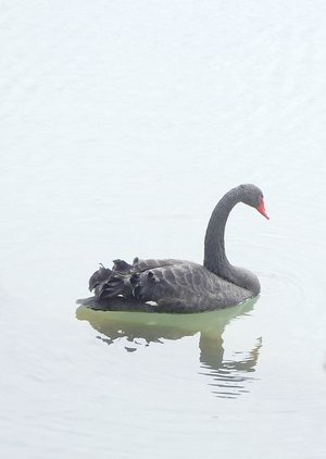 Lynn Atkins/The Weekly Vista A black swan appeared earlier this winter on Lake Bella Vista and no one knows where it came from.