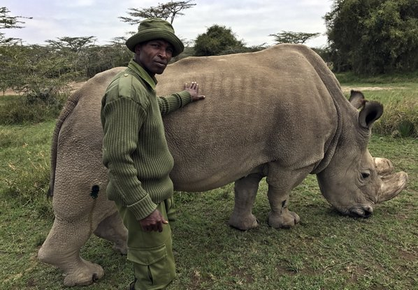 Fears for health of world's last male northern white rhino