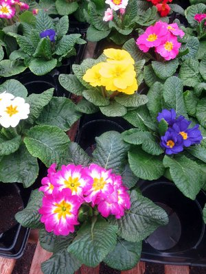 "English primroses don't have a long growing season in Arkansas but they work as ""shoulder plants,"" bridging the color gap between winter and summer."