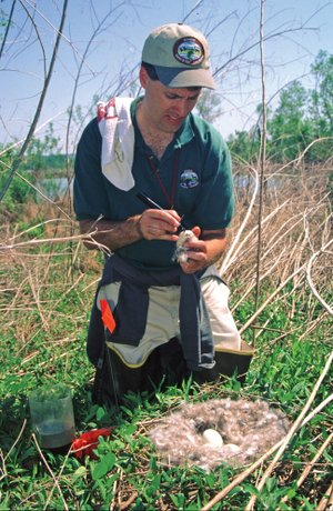Michael Hill, a former waterfowl biologist with the Arkansas Game and Fish Commission, collects data from a giant Canada-goose nest on an island in Lake Dardanelle.