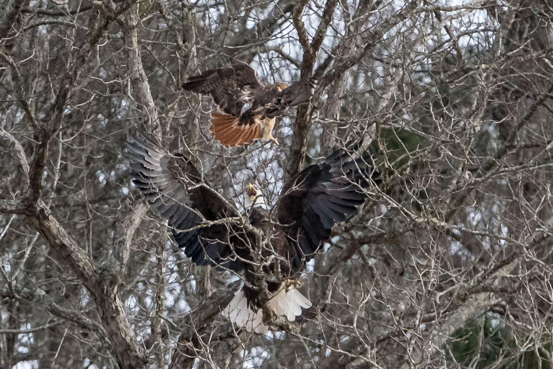 Courtesy Photo Ellyn Proctor A Bald Eagle Spreads Its