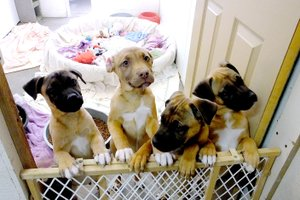 Lynn Atkins/The Weekly Vista Five puppies were brought to the shelter last week after being found on a corner in Bella Vista. They are actually the fourth litter of puppies the shelter has seen in 2018. They are probably a boxer mix, shelter staff said.