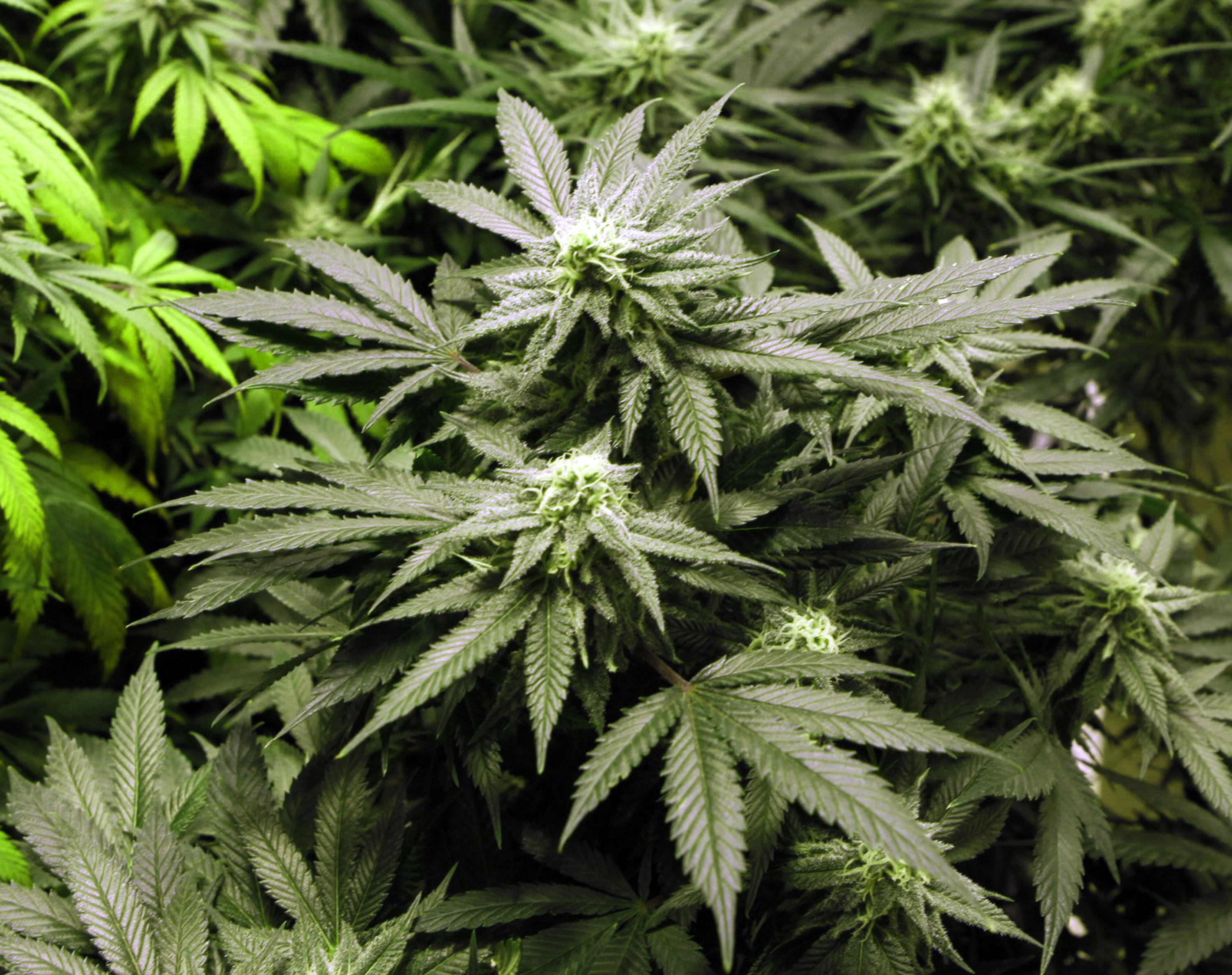 Arkansas judge blocks state from licensing pot growers