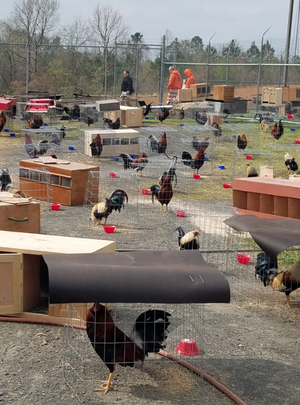 Nearly 200 roosters are being held on the grounds of the Sevier County jail in southwest Arkansas after a raid on a suspected cockfighting operation that netted more than 100 arrests, authorities said.