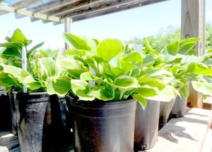 Submitted photo These Hostas, ready to go for the Spring Plant Sale, show the gallon-size containers needed by the Bella Vista Garden club. The Bella Vista Recycle Center will be glad to take empty plant containers and distribute them to the Garden Club.