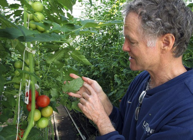 in-this-april-2-2018-photo-dave-chapman-owner-of-long-wind-farm-checks-for-insects-on-organic-tomato-plant-leaves-in-his-greenhouse-in-thetford-vt-chapman-is-a-leader-of-a-farmer-driven-effort-to-create-an-additional-organic-label-that-would-exclude-hydroponic-farming-and-concentrated-animal-feeding-operations-ap-photolisa-rathke
