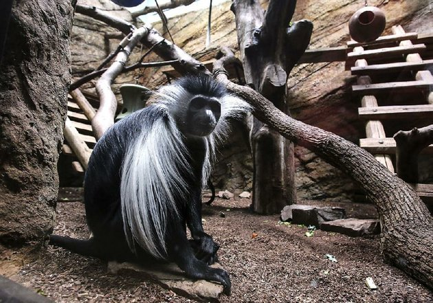 a-colobus-monkey-sits-in-its-habitat-at-the-little-rock-zoo-on-sunday-the-zoo-plans-to-spend-about-13-million-to-build-new-colobus-monkey-and-serval-cat-exhibits-that-will-create-more-living-and-play-room-for-the-animals-and-make-space-to-breed-them-in-the-future