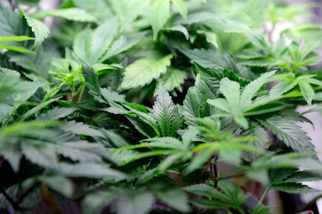 file-in-this-feb-14-2018-file-photo-marijuana-plants-are-displayed-at-a-dispensary-in-berkeley-calif-us-health-officials-say-a-closely-watched-medicine-made-from-the-marijuana-plant-significantly-reduces-seizures-in-children-with-severe-forms-of-epilepsy-and-warrants-approval-in-the-us-the-food-and-drug-administration-posted-its-review-tuesday-april-17-of-the-experimental-medication-ahead-of-a-public-meeting-later-this-week-ap-photomarcio-jose-sanchez-file