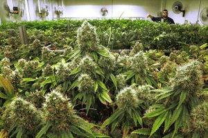 Scoring guides used by Arkansas Medical Marijuana Commission members to rate pot growers varied