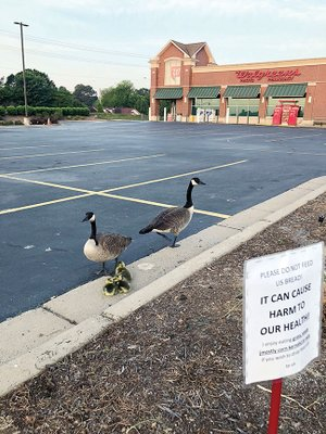 A Canada goose nested in the Walgreens parking lot on Salem Road in Conway and hatched three ducklings on Mother's Day. Employee Spencer Hamilton, photo tech, gave the geese food twice a day and erected a sign asking people not to feed them bread. Kate Mull, the store's beauty adviser, said she named the geese Bernadette and Henry and documented them on her Instagram account.