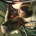 Sloths enthusiastically greet visitors to the Promised Land Zoo in Branson.