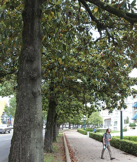 Contractor Sought To Replace Iconic Southern Magnolias Along Hot