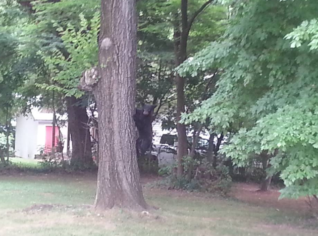 huntsville-residents-spotted-a-baby-bear-sleeping-in-a-tree-tuesday