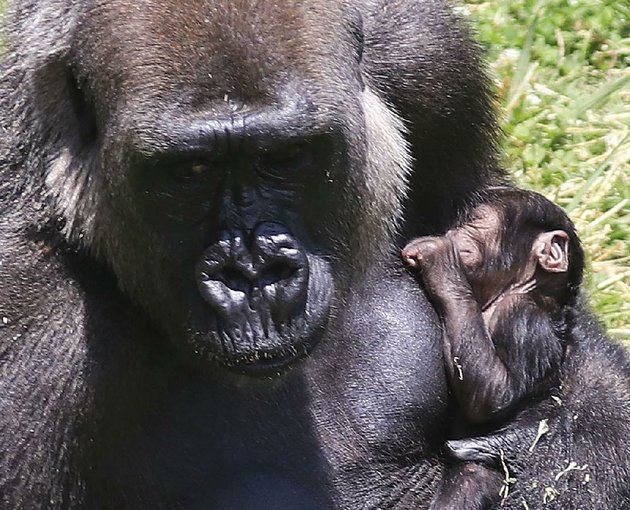arkansas-democrat-gazettestaton-breidenthal-62218-sekani-a-western-lowland-gorilla-holds-her-new-baby-friday-afternoon-at-the-little-rock-zoo-the-baby-born-wednesday-is-the-third-born-to-sekani-and-the-third-born-at-the-little-rock-zoo