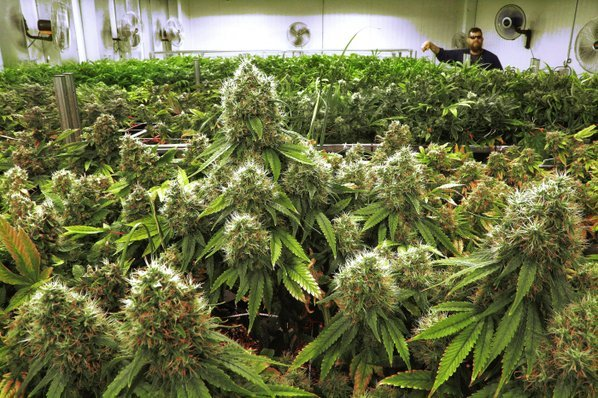 file-this-sept-15-2015-file-photo-shows-marijuana-plants-a-few-weeks-away-from-harvest-in-a-medical-marijuana-cultivation-center-in-albion-ill-ap-photoseth-perlman-file