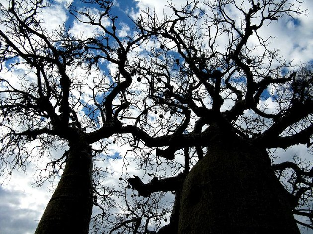 the-spindly-limbs-of-baobab-trees-in-parc-mosa-the-bulging-trunks-are-fibrous-and-saturated-with-water-the-baobab-seen-here-in-parc-mosa-is-the-national-tree-of-madagascar-jeanine-baronewashington-post
