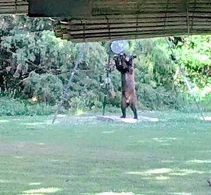 Courtesy Photo Bill Weber was surprised to have a visitor on a recent morning. The black bear found Weber's feeder, which is meant for birds and deer. The black bear decided to have breakfast, then wandered off into the woods after Weber yelled at him. Weber lives off Highway NN, between Anderson and Goodman.