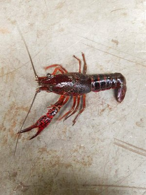 This undated photo provided by the Michigan Department of Natural Resources shows a crayfish.