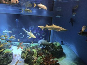NWA Democrat-Gazette/FLIP PUTTHOFF Sharks, grouper and other ocean fish swim July 6, 2018, in front of divers during an Out to Sea Shark Dive at Wonders of Wildlife National Museum and Aquarium in Springfield, Mo. Divers don wetsuits and diving helmets, then go underwater in a protected cage with sharks and other fish with teeth.