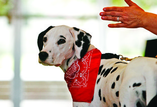 """Molly, a Dalmation, serves as the official mascot for the Keep Kids Fire Safe Foundation as """"Molly the Fire Safety Dog."""""""