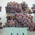 Grapes from Ranalli Farms are displayed for sale at last year's Tontitown Grape Festival. The festiv...
