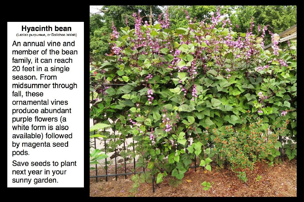 Photos no mystery here unfamiliar plants and flowers are empress tree royal paulownia paulownia tomentosa we see this tree in many many pictures submitted for identification when young it has huge leaves mightylinksfo