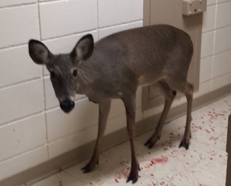 A deer broke through glass to enter the Cross County Courthouse on Monday. (Submitted photo)